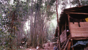 Longhouse nestled amongst giant bamboo.