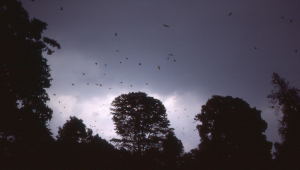 Evening approaches and the fruit bats head off from their roost in the Bogor gardens to feed.