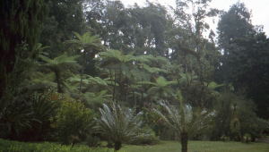 Tree ferns and cycads at Cibodas