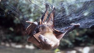 A fruit bat in a mist net.