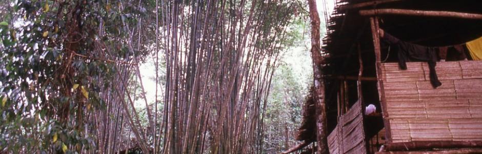 Longhouse nestled amongst giant bamboo.