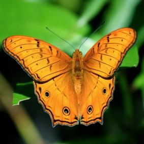 Beautiful butterfly on Seram (Photo by Kai Bansner)