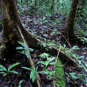 Rainforest floor Giant (Photos by Kai Bansner)